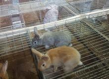 ارانب هولندى للبيع