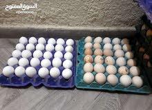 توفر بيض بلدي وفيومي للفقاسات بنسة تخصيب عاليه حيث نكفل البيض كفاله