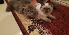 للبيع 4  قطط عمر5شهور