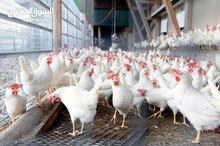 طبيب بيطري خبير دواجن شاب يبحث عن عمل --  Poultry Veterinarian is looking for a job