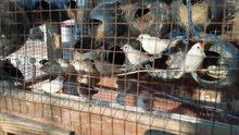 عصافير فنقز للبيع