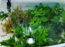 نباتات طبيعية لاحواض الاسماك