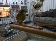 طيوركناري للبيع