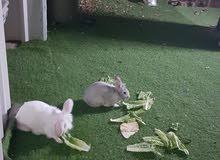 ارنب ذكر مع ارنب انثى فرنسي