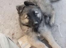 كلب جيرمن بهاسكي للبيع