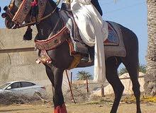 حصان تلاته رباع