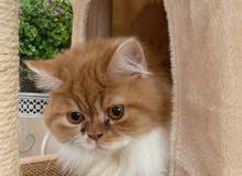 Persian cat short legs male قط بيكي فيس مستوى عالي