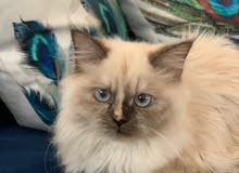 female Himalayan kitten