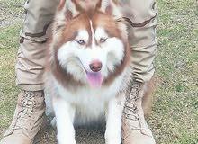 husky longhair brown ...هاسكي