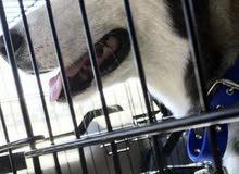 كلب هاسكي للبيع عمر 9 شهور