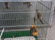 طيور الياسمين