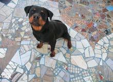 كلب روت عندة 5شهور ونص تقليب عالي مدرب طاعة واخد تطعيمات ثنائي وثماني وديدان وحش