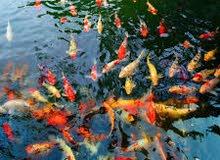 أسماك الكوي الياباني المميز بالونها والسعر أقل من السوق