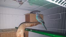 love birds breeding pair