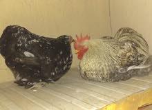 دجاجه وفروج استرالي حجم الماني 95 دينار مستعجل