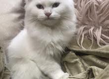للبيع قطة انثى ثلاثة اشهر مع دفتر التطعيمات