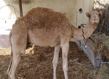 قعود للبيع العمر 8شهور  وعادي إذا كان حد يبدل بحصان ونحددالفارق