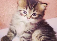 قطط للبيع في الطايف النوع شيرازى مون
