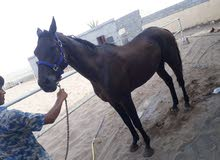 حصان مخصي