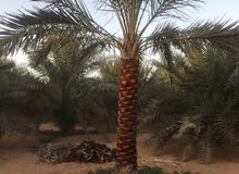 date palm trees delivery and planting 0561513145