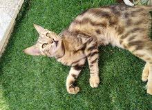 قطة من فصيلة ((بنغالي مهجن))  A cat from the Bengal
