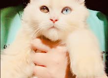 قطة للبيع تحتاج الى ذكر