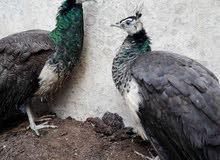 جوز طاووس هندي عمر 7 أشهر 150