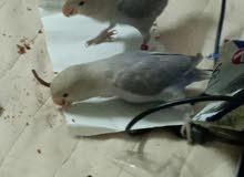طيور للجاد