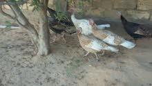 ديك رومي 9طروف4دجاجات 5دجاجات