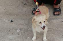 كلب للبيع زينه تصيحه يجيك السعر150