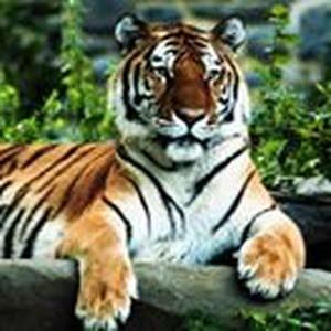 Nosa Jamy Tiger