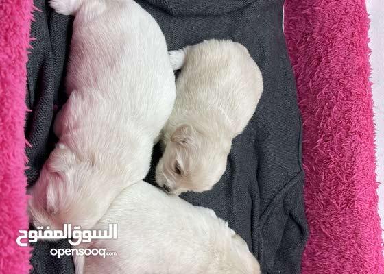 Pure Maltese Breed For Sale ( Riyadh )