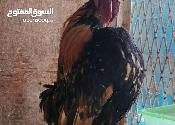دجاج كويتي هزاز