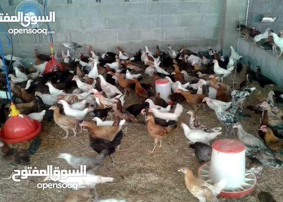 دجاج عماني للبيع