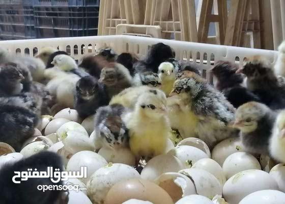 متوفر كتكوت عربي يوم الاحد العدد1500 السعر 2دينار للطلب الاتصال علي الرقم التالي