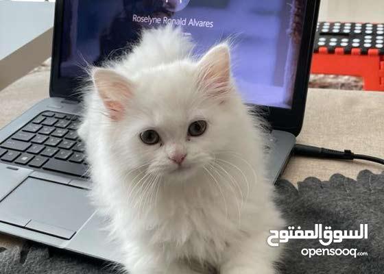 kitten pure Persian sharazi 2 month Fully passport ready