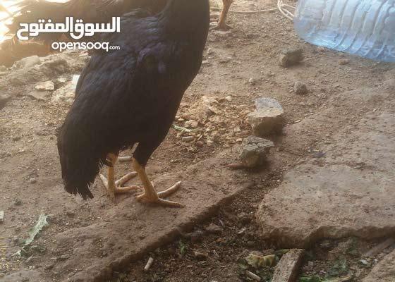 دجاح تركي للبيع ودجاج سيماني 76618556
