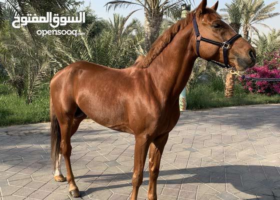 Arabian stalion for sale