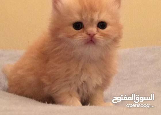 الي عنده قطه للتبني زي ذي يتواصل معاي
