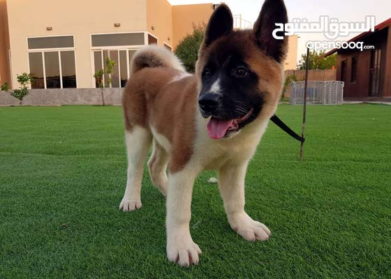 Adorable Pure Breed American Akita Puppy جرو امريكين أكيتا مستوا عالي