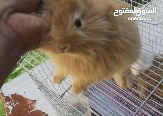 بيبي أرانب هولندي عيون حمر شعر طويل مستوا عالي صحة ممتازة للتواصل 0543030340