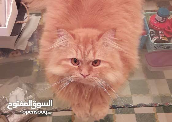 hemalyen mix chinchilla  cat