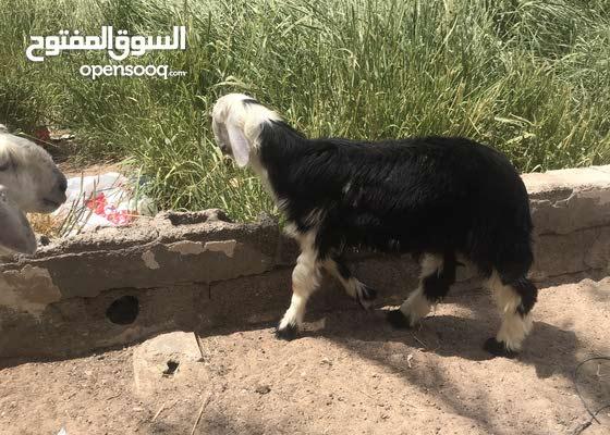 خروف للبيع النوع نجدي
