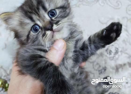 قطة بريتش شانشيلا العمر شهر واسبوع