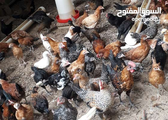 دجاج بلدي نظيف للتربيه احلى انواع الدجاج للبيع بيض