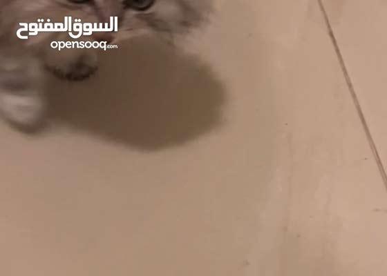 قطة شيرازيه العمر 3 شهور