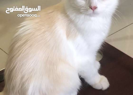 قطط شيرازي بيور ذكر يبحث عن بيت جديد
