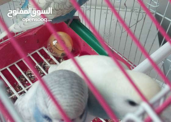 3 بادجي هولندي اليف حمامة وناادر بالسوق