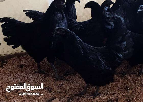 دجاج اندونيسي بيور جاهز للانتاج ومتوفر جميع الاعمار الصوص يبدء 50درهم عمر 10ايام