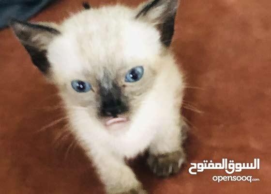 قطة سيامو حرة العمر شهر و 26يوم أنثى
